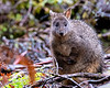Pademelon, Cradle Mountain