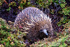 Echidna, Cradle Mountain National Park