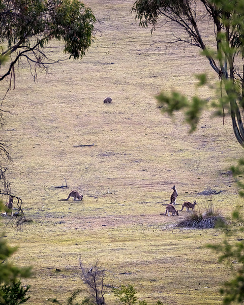 Kangaroos and Wombat, Maria Island