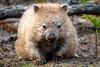 Resting Wombat, Maria Island