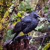 Black Currawong, Cradle Mountain