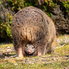 Wombat Joey in Pouch, Maria Island
