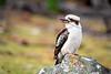 Kookaburra, Maria Island