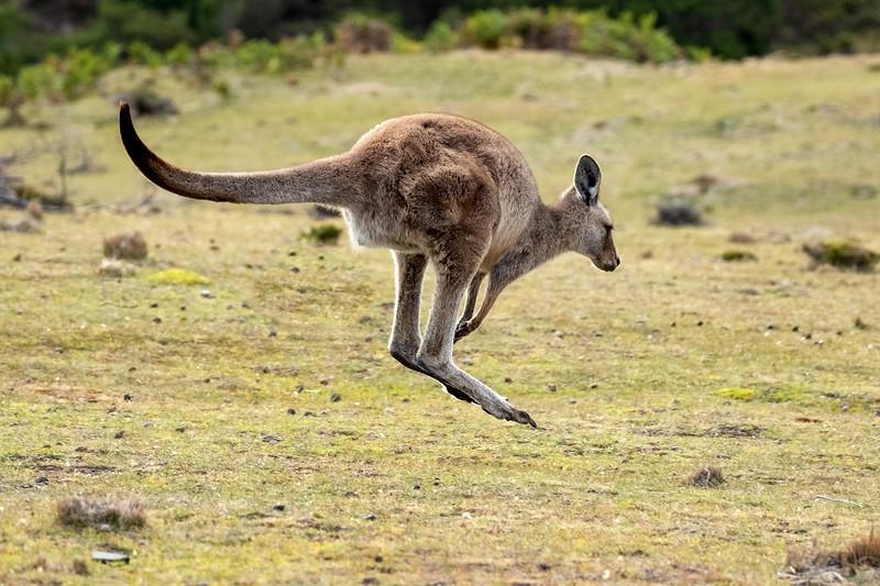 Hopping Kangaroo, Maria Island