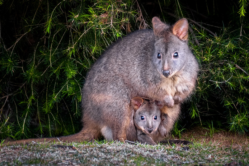 Pademelon Joey in Pouch, Maria Island