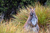 Wallaby, Cradle Mountain National Park