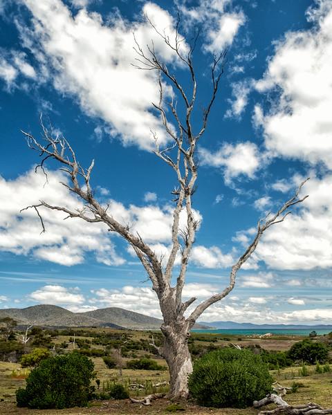 Dead Tree, Maria Island