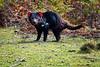 Wild Tasmanian Devil, Maria Island