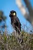 Black Cockatiel, Maria Island