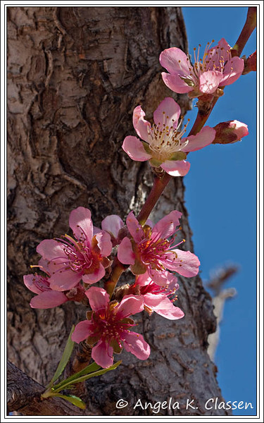 "April Featured Photo - ""Just Peachy"""
