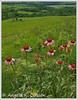 "May Featured Photo - ""Konza Coneflowers"""