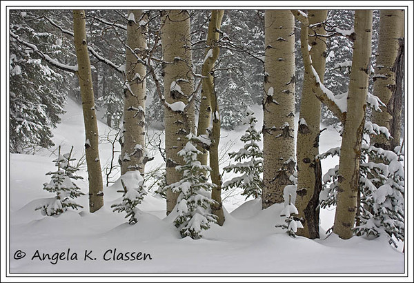 "January Featured Photo - ""Winter Aspens"""