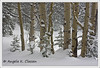 "January Featured Photo - ""Winter Aspens"""