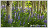 July Featured Photo - Lupines & Aspens