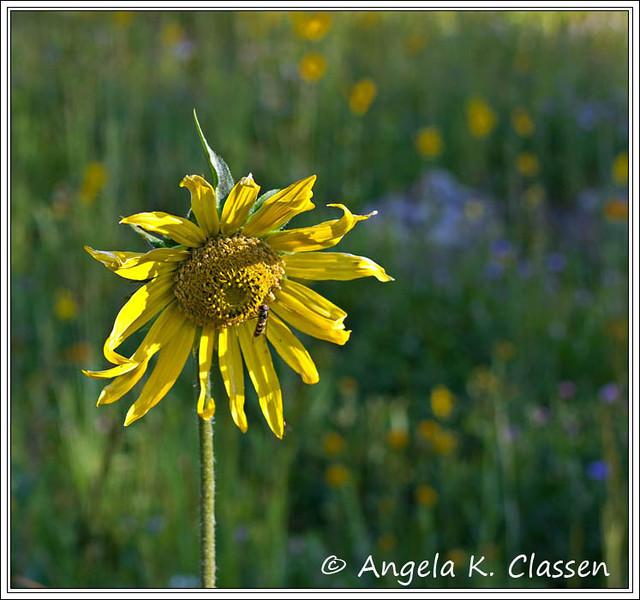 """August Featured Photo - """"Nodding Sunflower"""""""