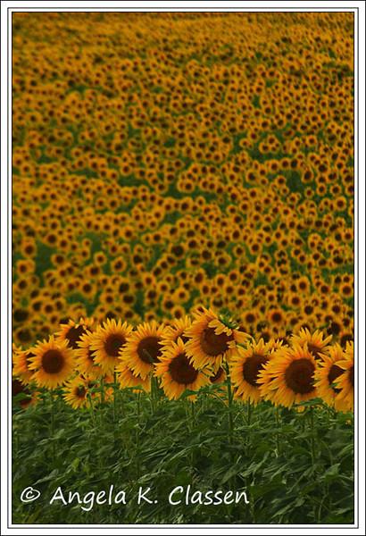"September Featured Photo - ""Sunflower Fields Forever"""