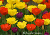"March Featured Photo - ""Tulip Time"""