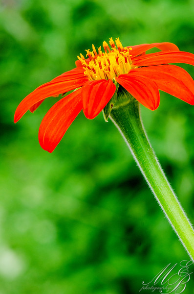 Tithonia – Mexican Sunflower