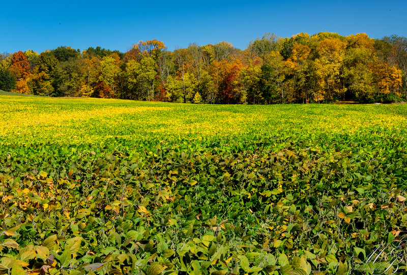 Fall foilage and Soybeans