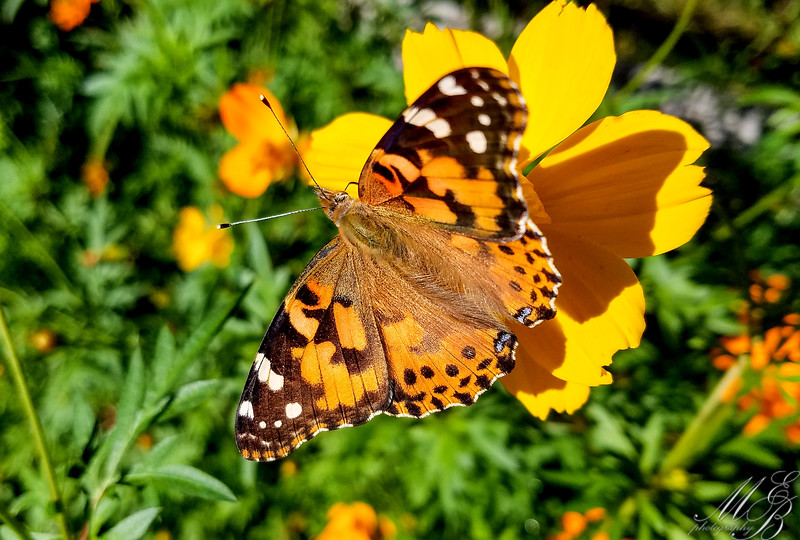 Painted Lady Butterfly on Cosmos