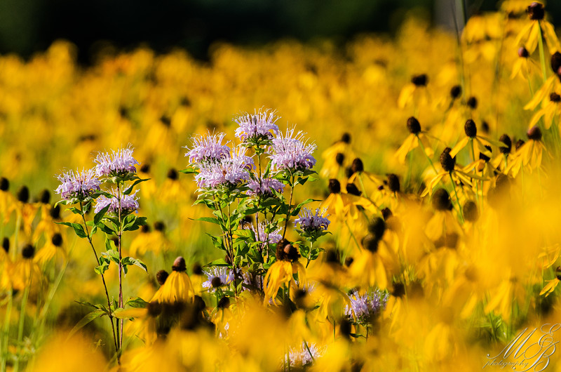 Bee Balm in a sea of yellow