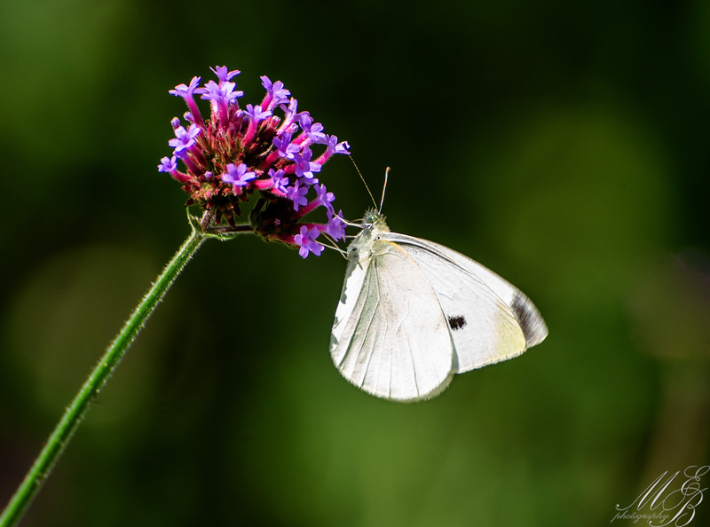Cabbage White Butterfly on Butterfly bush