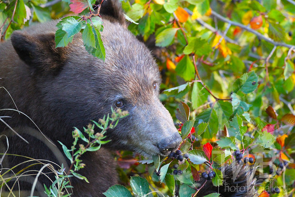 Black Bear enjoying Hawthorne berries in the fall @Grand Teton N.P.