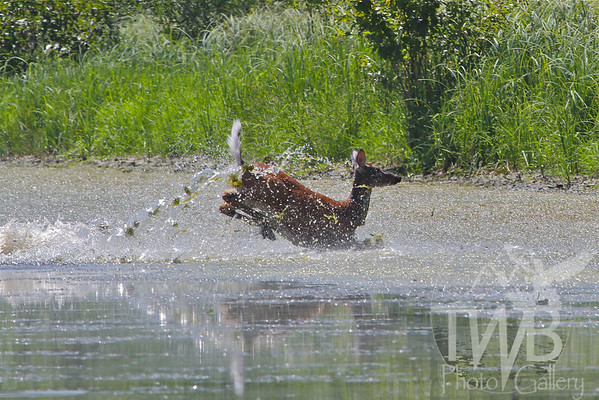 """""""a swamp romp"""" white-tail deer Clarence Canon W.L.R, Missouri"""