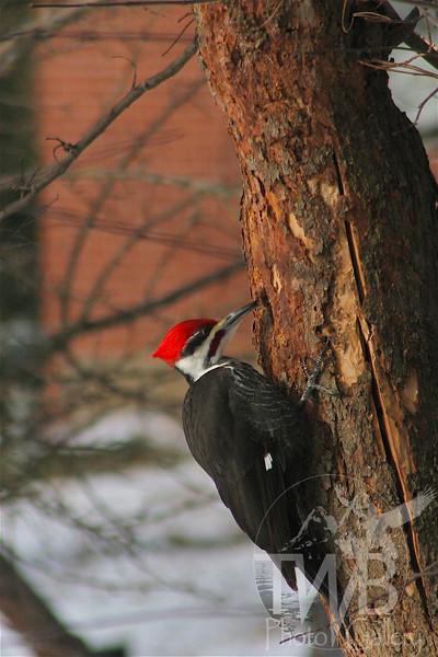 Pileated Woodpecker on a redbud tree.