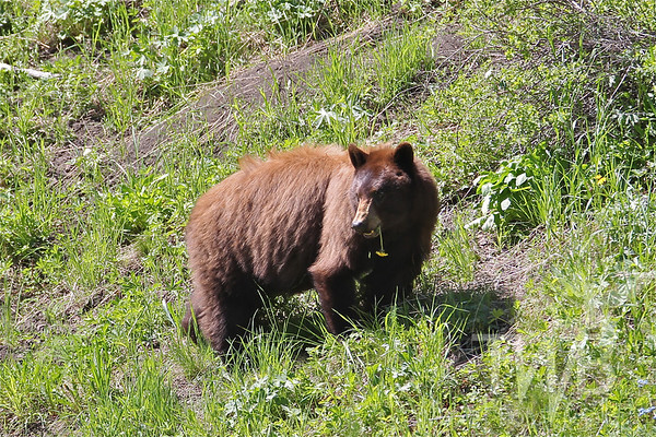 dandelions and sun! Black Bear near Tower, Yellowstone N.P.