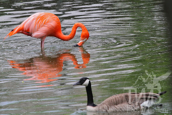 a Pink Flamingo eying a visiting Canada goose