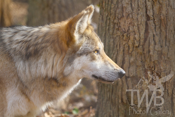 """warm glow"" , a Mexican Gray Wolf"