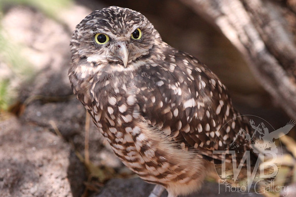 Intense look of a Burrowing Owl.