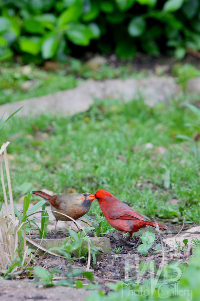Kissing Cardinals.
