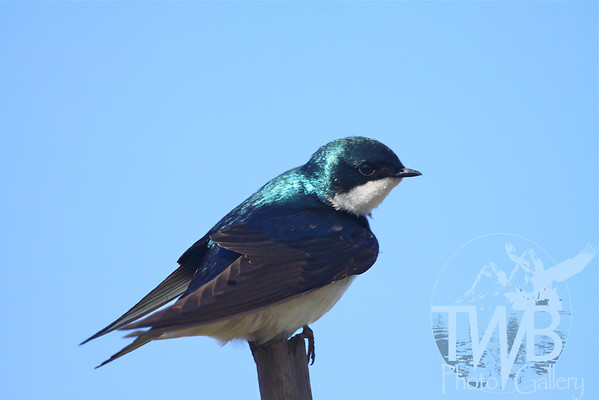 Tree Swallow in Baker Wetlands, Kansas.