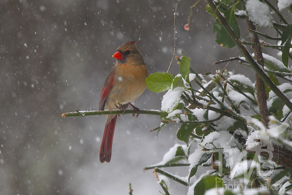 Female Cardinal in the snow.