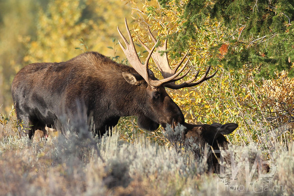 """a tender nuzzle"" , bull moose with offspring, Grand Teton N.P."