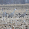 Sandhill Cranes in north Anderson field<br /> <br /> Photographer's Name: Steve Cockrill<br /> Photographer's City and State: Anderson, IN