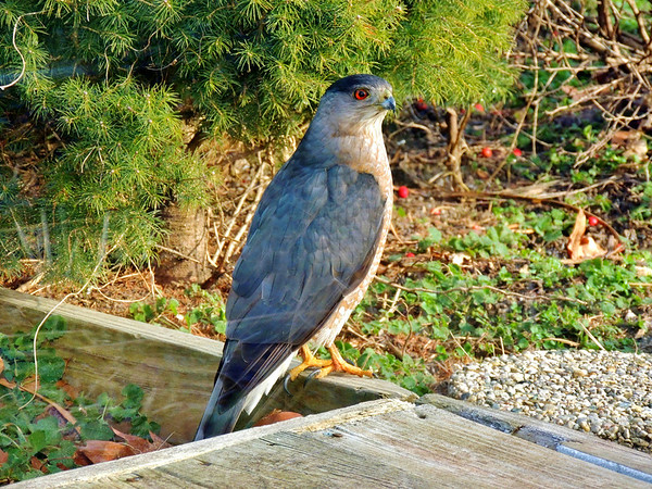Cooper's hawk looking for a snack ?<br /> <br /> Photographer's Name: Sharon Markle<br /> Photographer's City and State: Markleville, IN