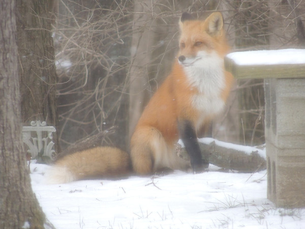 This fox came into my backyard.<br /> <br /> Photographer's Name: Laura  Smith<br /> Photographer's City and State: Anderson, IN