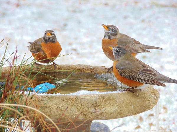 Grateful robins needing a drink.<br /> <br /> Photographer's Name: Sharon Markle<br /> Photographer's City and State: Markleville, IN