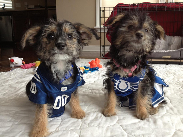 Toby and Daisy are ready for next season. Go Colts! Toby and Daisy are 2-month-old puppies belonging to 9-year olds Will and Faith Bluel of Pendleton.  <br /> <br /> Photographer's Name: Merilee Bluel<br /> Photographer's City and State: Pendleton, Ind.