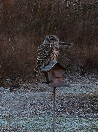 A barred owl roosts on the bird feeder in the Sowers' backyard.<br /> <br /> Photographer's Name: Rick Sowers<br /> Photographer's City and State: Anderson, Ind.