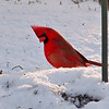 A male cardinal looking for food at my house a few weeks ago.<br /> <br /> Photographer's Name: Greg Tompkins<br /> Photographer's City and State: Anderson, Ind.