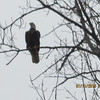 Bald Eagle at Aqua lake east side<br /> <br /> Photographer's Name: Lee Miller<br /> Photographer's City and State: Anderson, IN