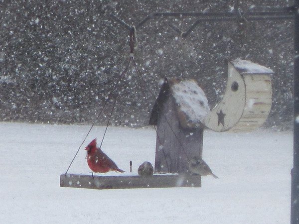 In my back yard...it was snowing such big flakes that day and the cardinal was so pretty.<br /> <br /> Photographer's Name: Anita Barton<br /> Photographer's City and State: Alexandria, IN