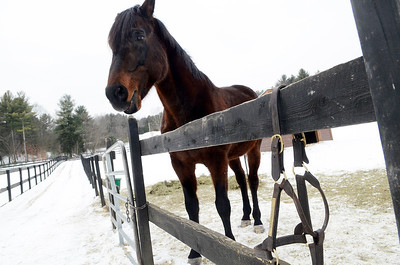 Erica Miller @togianphotog - The Saratogian,    At Cabin Creek on Friday afternoon, Jan. 31 2014, Behrens their latest horse to join the family. Cabin Creek is a part of the Old Friends organization for saving retired race horses,