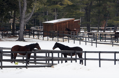 Erica Miller @togianphotog - The Saratogian,    At Cabin Creek on Friday afternoon, Jan. 31 2014. Cabin Creek is a part of the Old Friends organization for saving retired race horses,