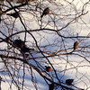 Lost robins, Jan. 23.<br /> <br /> Photographer's Name: Don Stohler<br /> Photographer's City and State: Frankton, Ind.