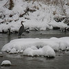 A blue heron at Falls Park.<br /> <br /> Photographer's Name: Marlene Sayre<br /> Photographer's City and State: Elwood, Ind.